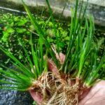 Cây Thạch Xương Bồ thủy sinh – Acorus gramineus