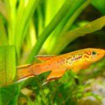 Những loài Killifish đẹp nhất cho hồ thủy sinh