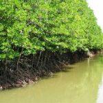 Hệ sinh thái rừng ngập mặn là như thế nào?