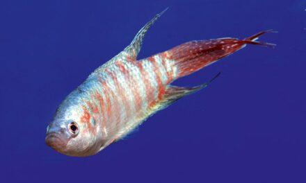 Một số thông tin về cá Cờ hay cá Thiên Đường